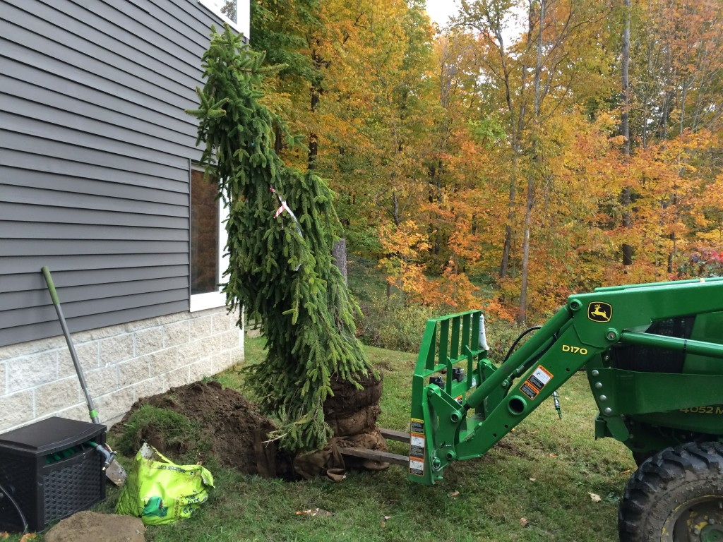 Getting the larger weeping spruce into the ground