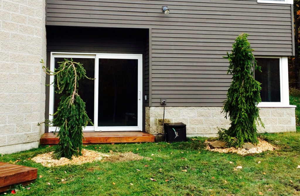 The Weeping Spruce have a fresh layer of wood chips before going through the Vermont winter